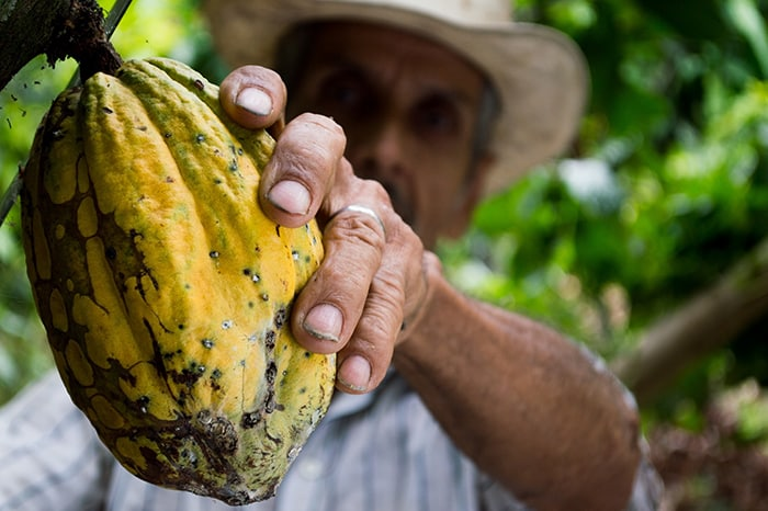 Where does chocolate come from - Cocao Fruit